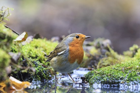 single songs: Robin on watering, orange bird, water, moss green