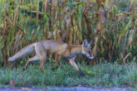 red fox: Red fox running through the garden, autumn colors Stock Photo