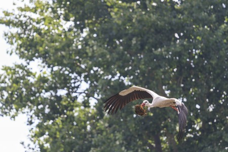 anastomus: Stork is material to the nest of spring, the migration of birds background of trees Stock Photo