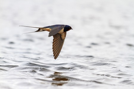 Swallow with open wings in flight over the water, the spring migration of birds, Action Standard-Bild