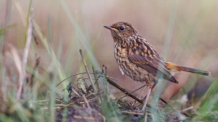 babby: young  bird in the grass,bluethroat, babby anamal