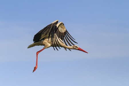 Stork flying in the sky with beautiful open wings ,blue sky,summer