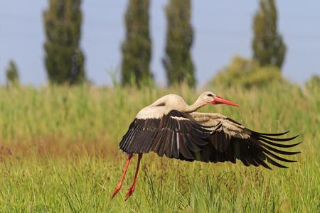 red beak: Stork strangely takes off from the ground, black and white, red beak