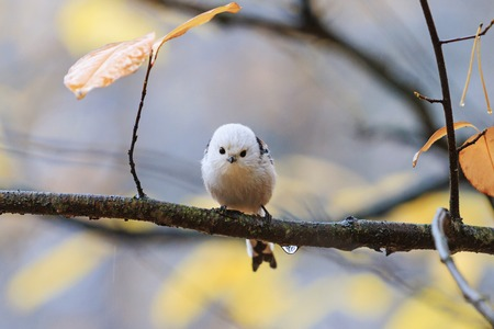 Long-tailed tit during autumn rain, loneliness Imagens