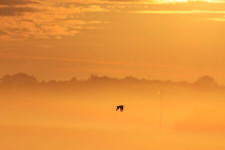 hotbed: Hoopoe flying in the morning fog, sunrise, golden landscape