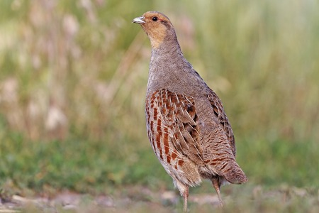 wild bird on the road, partridge, beautiful trophy Imagens