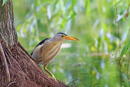 bittern: bird sitting on a tree root, the little bittern, summer evening Stock Photo