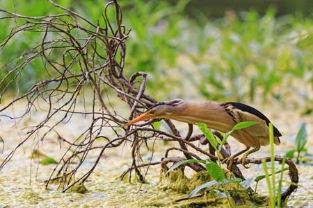 bittern: long neck, bird sitting on a tree root,little bittern