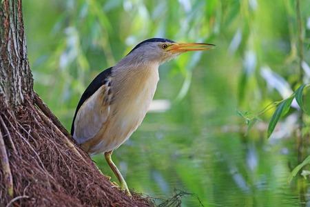 bittern: little bittern full-length ,hunts for fish,bird summer day