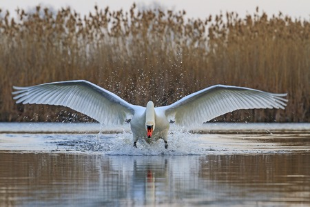 courtship: Swan with open wings, a unique moment, spring courtship