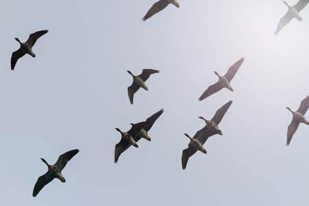 migratory: Migratory geese flying in the spring sky migration of birds, opened wing Stock Photo
