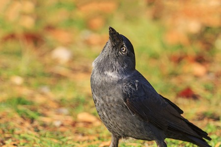 jackdaw looks to the sky with a raised beak, the bird of the autumn leaves, black bird
