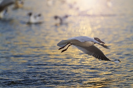 blackhead: Black-headed gull flying over water at sunset, unique lighting