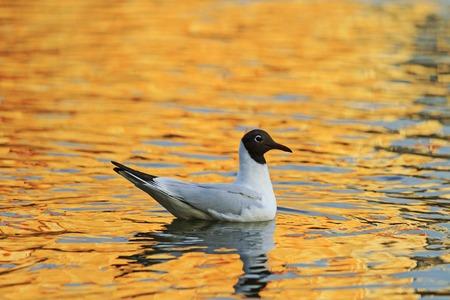 blackhead: Black-headed gull and orange water Orange Stock Photo