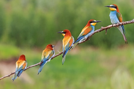 group of colorful birds sitting on a branch,European bee-eaters Imagens