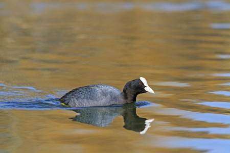 coot: Coot swimming in Lake Forest Stock Photo