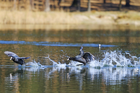 birdwatching: black birds love games,Dating game, coots on spring Stock Photo