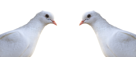 homing: White homing pigeon portrait isolated on white,a bird symbol of peace Stock Photo