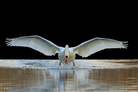 black feathered: Swan with open wings, a unique moment, spring courtship