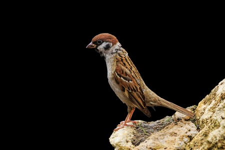 for designers: Eurasian tree sparrow isolated on a black background,material for designers,standing on tiptoe