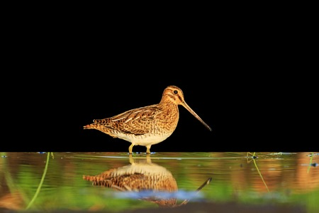 sandpiper with reflection isolated on a black background,wild bird, material for designer,Snipe Stock Photo