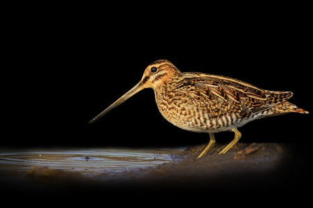 Snipe isolated on a black background blurred,Snipe isolated, hunting trophy, material for designers Stock Photo
