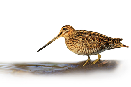 Snipe isolated on a white background blurred,Snipe isolated, hunting trophy, material for designers