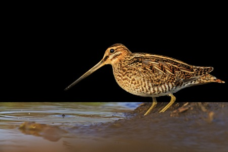 Snipe isolated on black,Snipe isolated, hunting trophy, material for designers