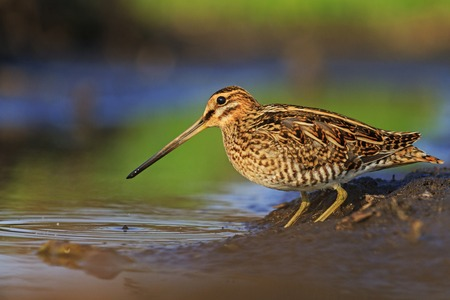 Snipe to determine the image for a book about birds Standard-Bild