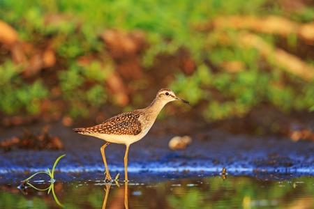 thirsty bird: Wood sandpiper among beautiful colors, wild bird Stock Photo
