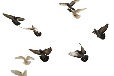 palomas volando: palomas postales que vuelan en el cielo azul, símbolo de la paz, pájaro blanco, alas, aislado en blanco Foto de archivo