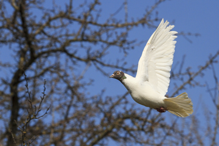 homing: white homing pigeon flying among the terms of delivery of letters, overcoming difficulties