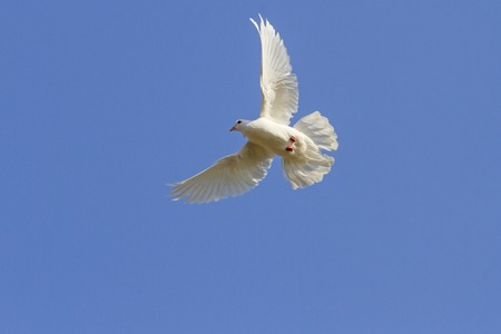 homing: white homing pigeon among the blue sky, a symbol of peace, sunlight,