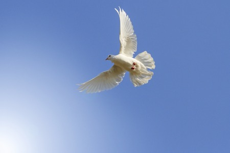 homing: white homing pigeon among the blue sky, a symbol of peace, sunlight, with sunny hotspot from left Stock Photo
