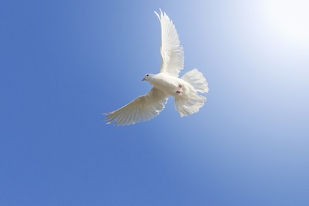 homing: white homing pigeon among the blue sky, a symbol of peace, sunlight, with sunny hotspot from right