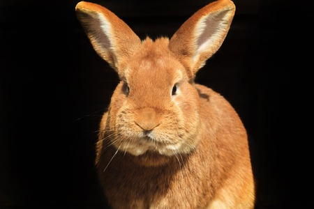 intrigued: Red rabbit on a black background, eared portrait Easter holiday Stock Photo