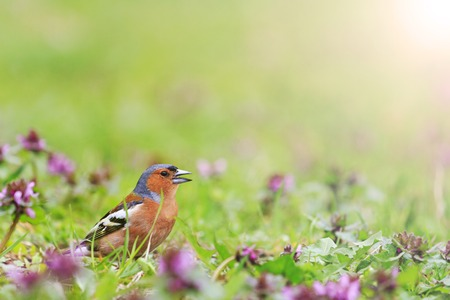 finch: Finch among the spring flowers, spring singing birds, green grass, wildlife with sunny hotspot