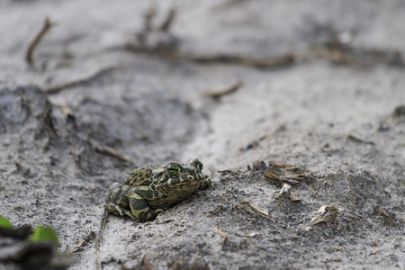 amphibians: European green toad of gray soil,spring amphibians