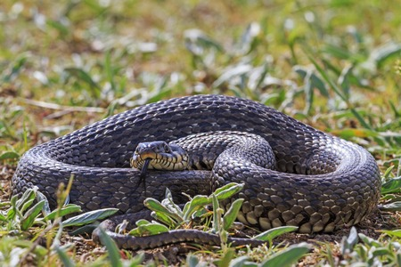 threatens: A large snake in the grass threatens tongue, danger Stock Photo