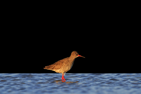 noord: waterbirds isolated on black background,waterbirds in salt lake at sunset,Common redshank Stock Photo