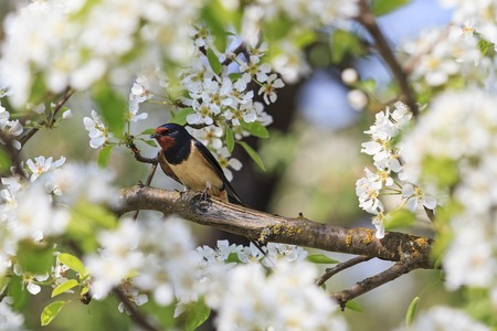 Swallow spring day in flowers of apple, spring birds singing
