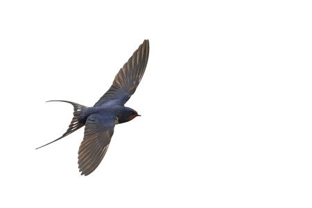 first swallow in flight isolated on white,the first step, migration of birds, the first spring bird swallow Stock Photo