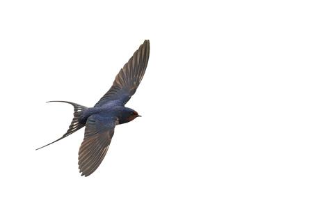 golondrinas: primera golondrina en vuelo aislado en blanco, el primer paso, la migración de las aves, la golondrina de aves primera primavera
