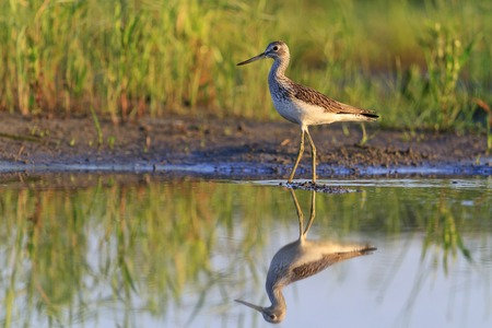 bird of paradise plant: sandpiper and its reflection in water,sunrise, summer,common greenshank Stock Photo