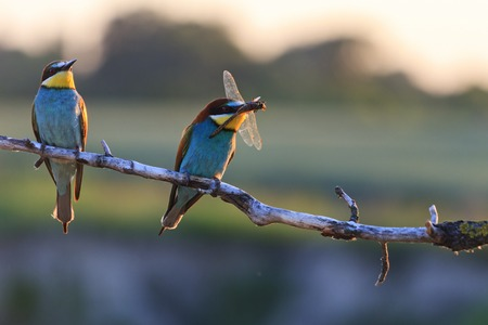 birds on branch: Couple dines colored birds at sunset,Silhouette couple of birds at sunset,bee eaters, european bee eaters, bird on branch,