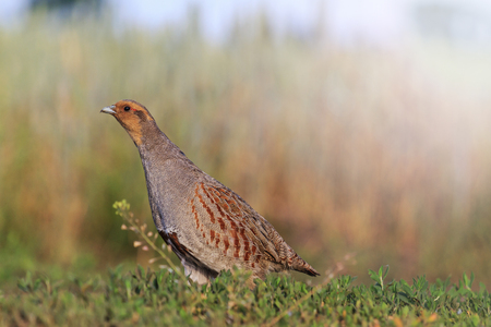 stealth: gray partridge tread carefully on the road, hunting bird, caution, stealth, accuracywith sunny hotspot