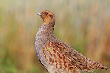 kuropatwa: Kuropatwa z ważnym licznika, charakter polowania ptaków, dzikiego ptactwa, zwierząt Zdjęcie Seryjne