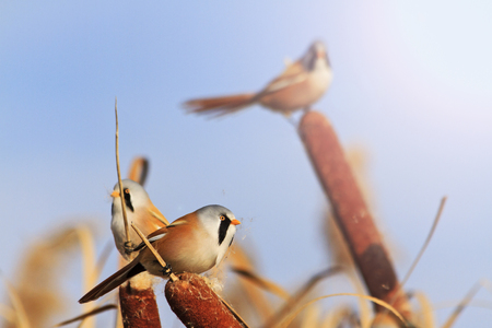 unusual birds with bright plumage,hidden birds, birds that live in the swamp,Bearded reedling