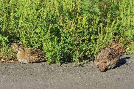 kuropatwa: mother grey partridge and small partridges,sitting on the side of the road