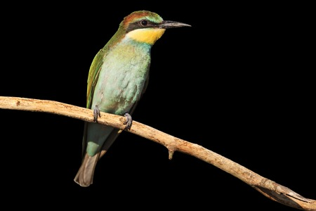 young bird: young bird with green plumage isolated on black,european bee eater Stock Photo